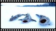 Подборка удачных моментов на рыбалке, жерлицы зимой.