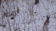 Охота на зайца с Эстонской гончей...Сезон 2019-2020.Заяц разбил себе нос)))))