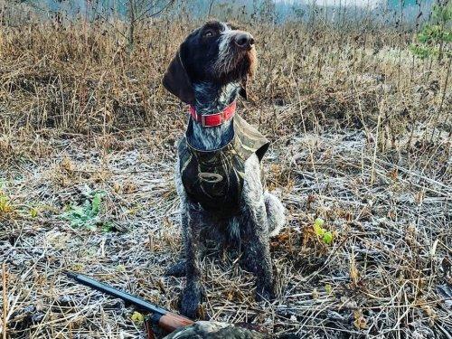 Собака на охоте , это не просто друг человека , это напарник и помощник.