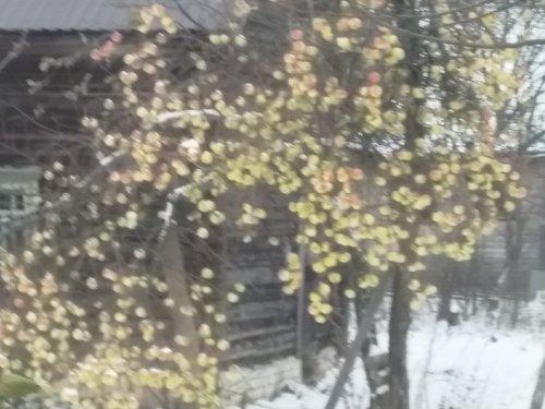 Зимние яблоки