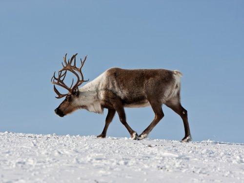 Красноярский край в 2020 году потратит 3,6 млн рублей на изучение миграции северного оленя
