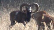 Олени, муфлоны. Охотничьи животные. Deer, mouflons. Game animals