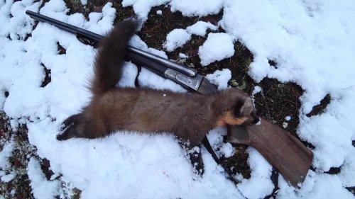 Охота на куницу по первому снегу. Коми край.