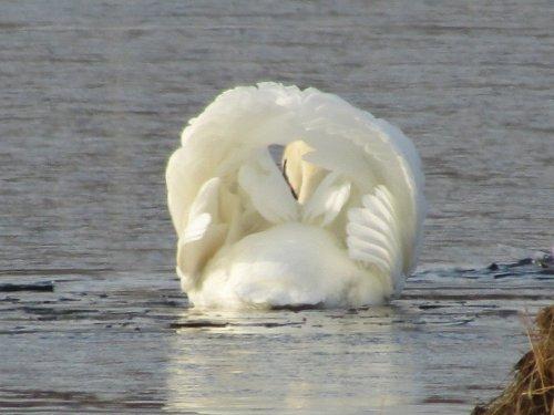 Самка (лебедь-шипун)