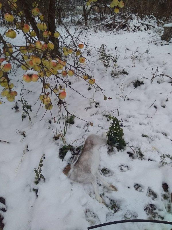 """""""Яблочный"""" заяц"""