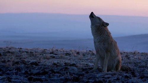 Охота в астраханских степях Волк загнал фермера на столб!