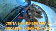 Охота на перепёлку с легавой собакой № 15