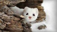 Наблюдение за дикими животными или непрошеные гости барсучьих нор .