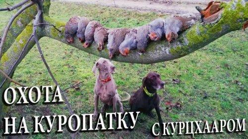 Охота на куропатку с курцхааром. Стойка легавой по подранку ))) Охота по перу в Белоруссии