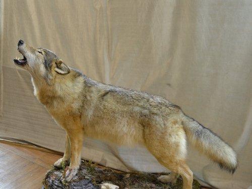 Полноразмерное чучело волка