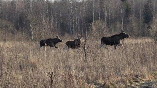 Охота на лося. Камера начала снимать лосей