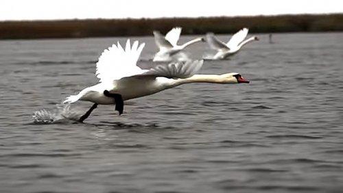 Охота на  лебедя. Астрахань 2019