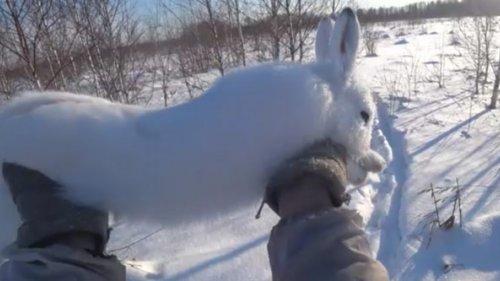 Охота на зайца с гончей #10. Опять в ноги прибежал!