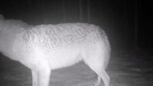 Волк на приваде