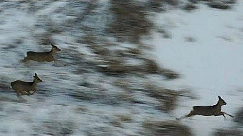 Скоро зимняя охота на Сибирскую косулю 2019. Дрон
