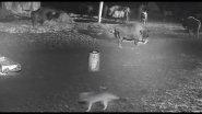 Попытка нападения волков на стадо зубров