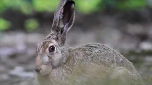 Охота на зайца. Промахи  и отравленная дичь