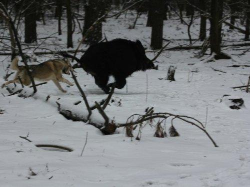 Кабанья охота у придорожной забегаловки