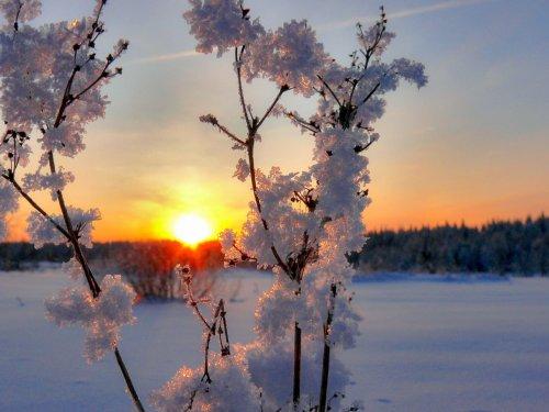 Зимняя сакура