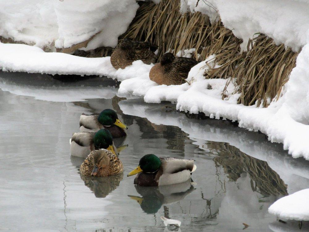 Зимующие утки.