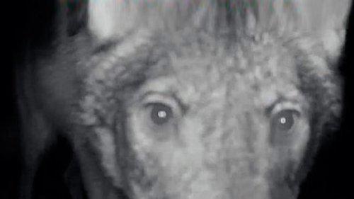 Волк покусал фотоловушку