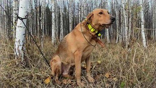 Нагонка гончих собак по отцовской методике, его опыт и мнение