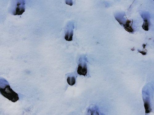 Следы косули по снегу.