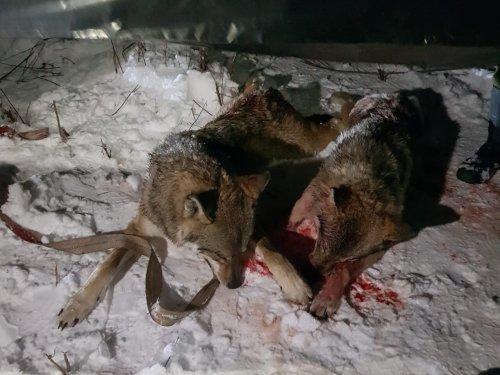 В подмосковье добыто 4 волка