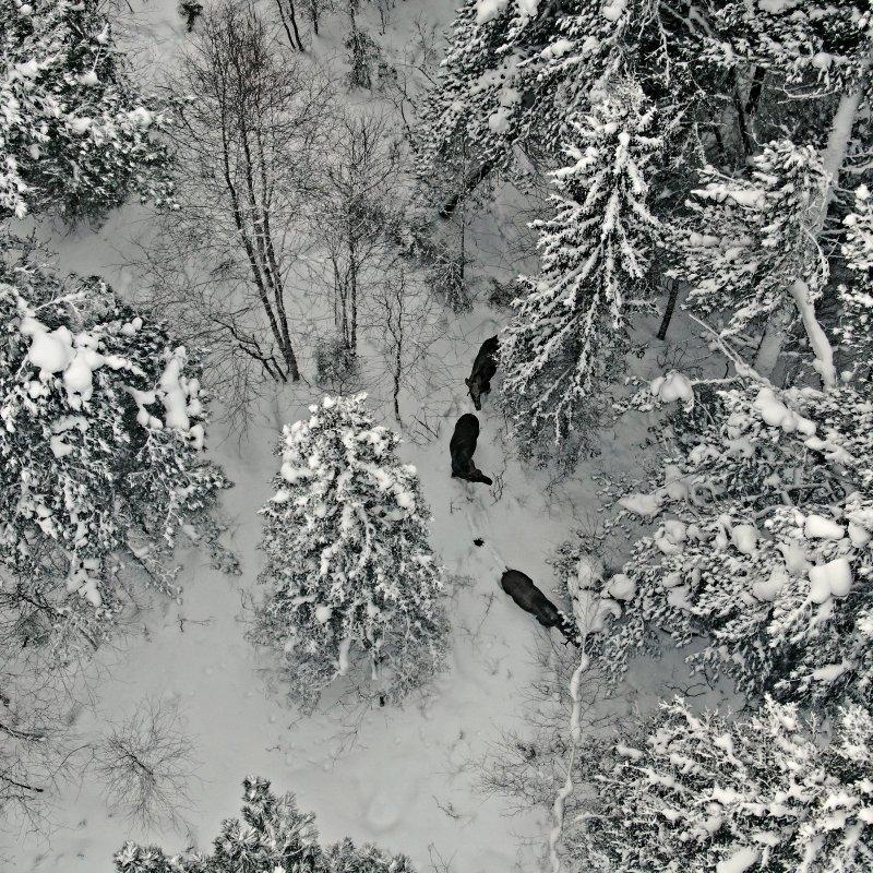 Лесные коровы