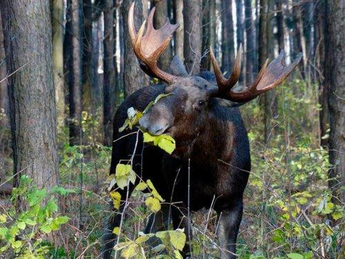 На севере Красноярского края задержали браконьеров с тушами лосей и кабарги