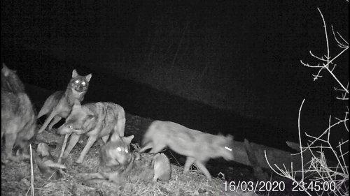 Стая волков в лесу. Вести из леса (16.03.20)