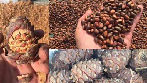 Добыча кедрового ореха-как это делают