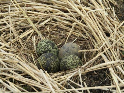 Первое гнездо весны 2020