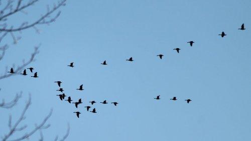 Охота на гуся. Год 2020. Алтай.