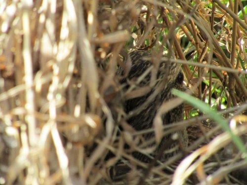 Утка на гнезде