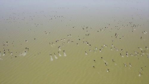 Миграция гуся в Омской области. Скоро большой ролик.