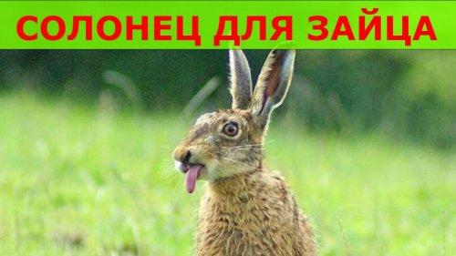 Солонцы для зайца весной