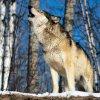 Волки подошли близко к трассе под Томском
