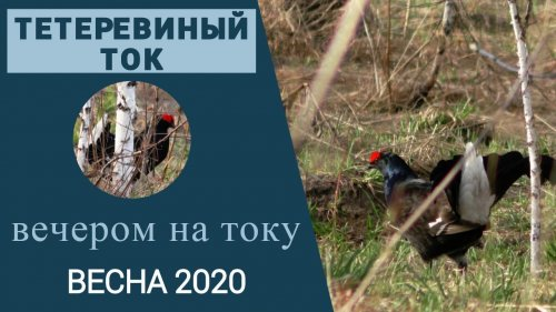 Тетеревиный ток вечером / Находим тетеревиный ток / Признаки тока / Весна 2020