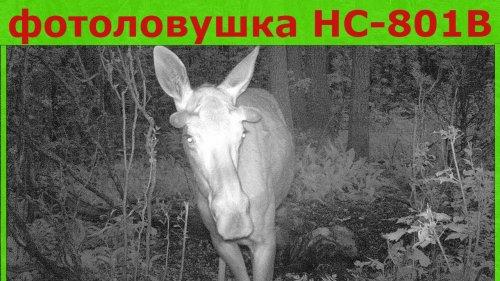 Лоси на фотоловушке HC 801B