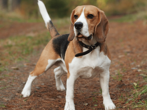 Охотничьи собаки породы бигль
