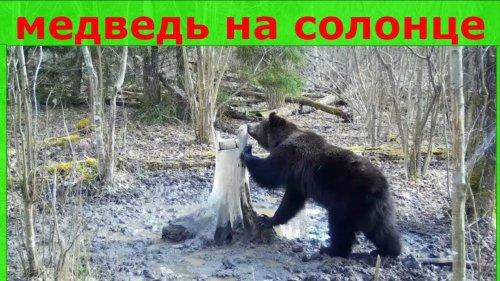 Медведь на солонце