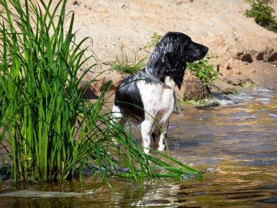 Лечение и профилактика пироплазмоза у охотничьих собак