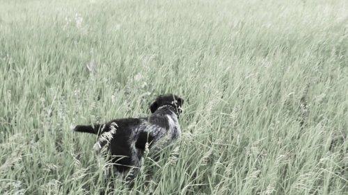 Дратхаар. Послушание в поле. Натаска.