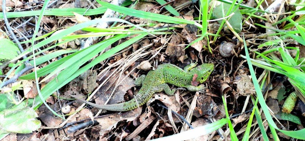 """О какого """"крокодила"""" встретил в лесу....)))"""