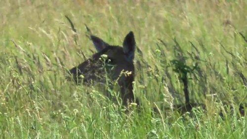 Лесной олень отдыхает, пасется. Forest deer resting, grazing