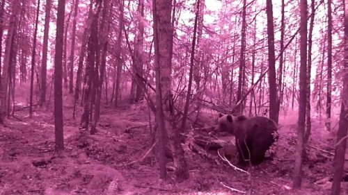 Три медведя на приваде ХМАО Югра