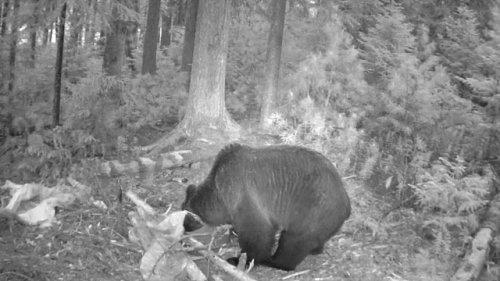 Медведи конкурируют на приваде