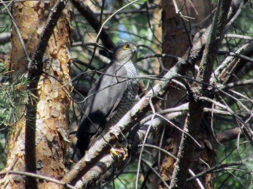 Ястреб-перепелятник (самка)
