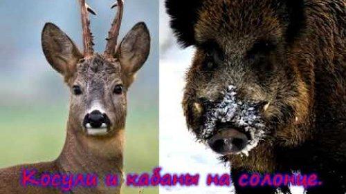 Косули и кабаны на солонце. Июль 2020г. / Roe deer and wild boars on salt licks. July 2020.